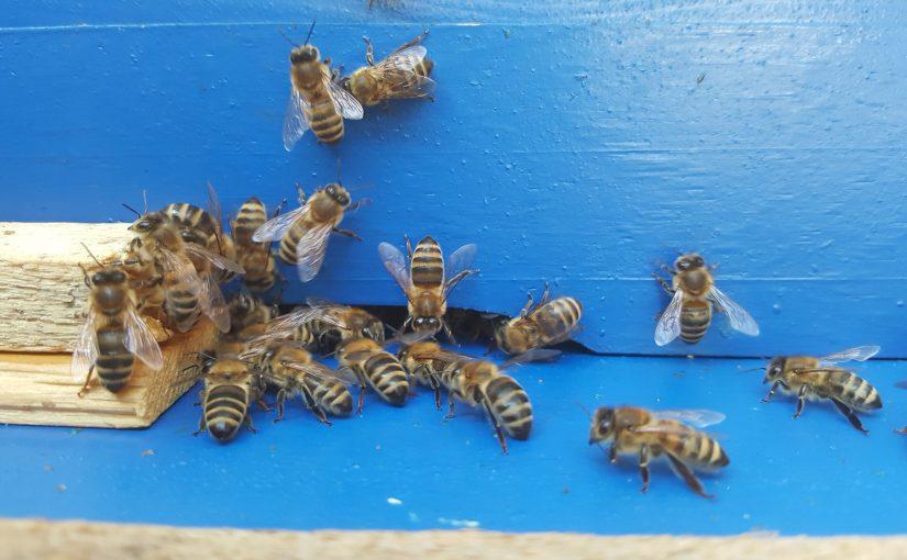 Anstehende Varroabehandlung